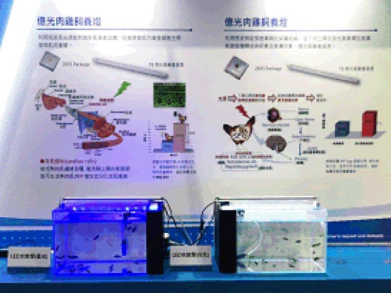 石斑魚苗新希望!億光電子與台大團隊研發出石斑魚專用LED燈具!(億光提供)