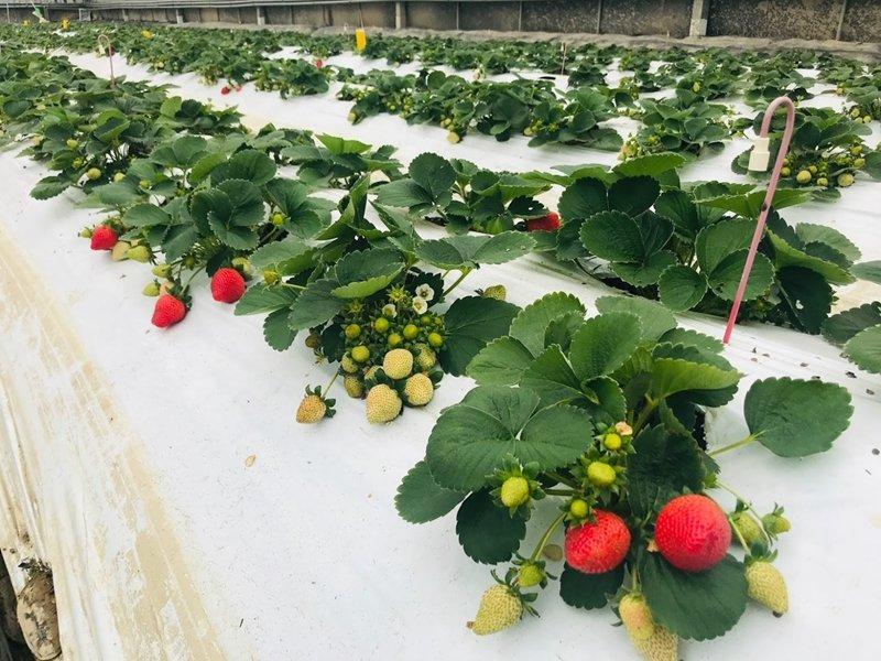 億光研發草莓專用轉色燈 香水草莓顏色轉紅比率增加30%。(億光提供)